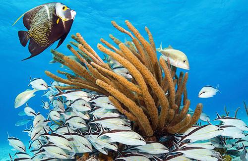 287-Bahamas-Exuma-Angel-fish-Snapper