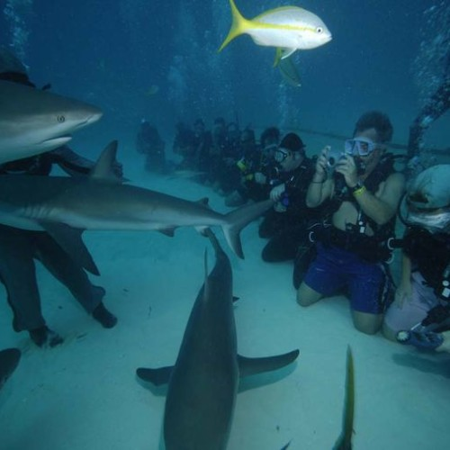 Diving-with-sharks-on-Grand-Bahama-Island