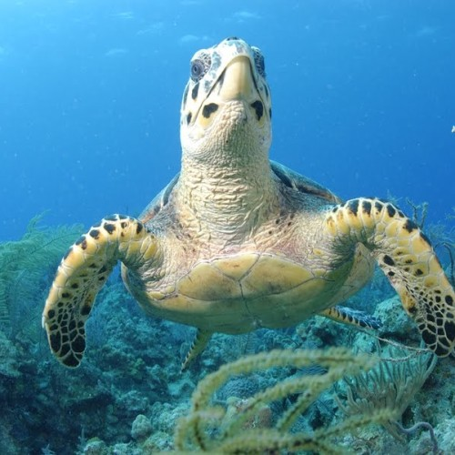 Turtle-in-Exuma-Cays-Land-and-Sea-Park