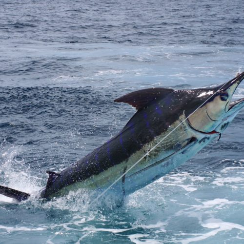 Yachts-Riviera-Maya-Deep-Sea-Fishing-White-Marlin-3