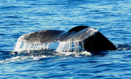 Cabo-San-Lucas-whale-watching