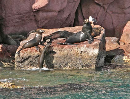 Baja California Sur, Los Islotes, California sea lions