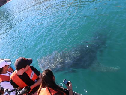 Baja California Sur, Bahia Agua Verde, whale shark close to inflatable boat.