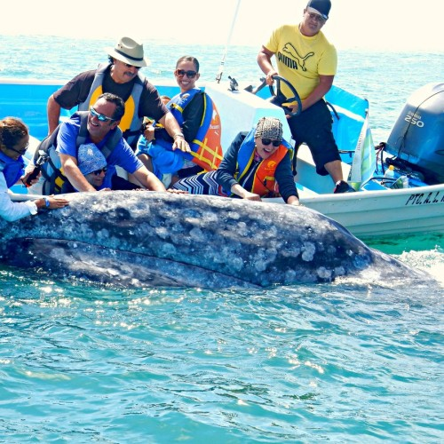 Whale-Watching-Excursion-to-See-Gray-Whales-in-Magdalena-Bay