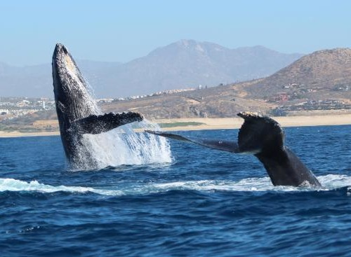 whale-watch-cabo