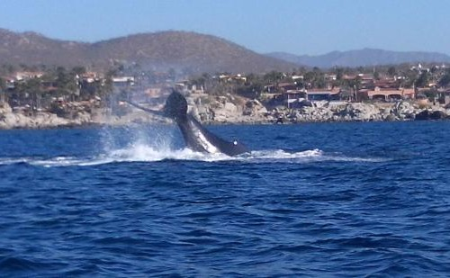 whale-watching-cabo-san