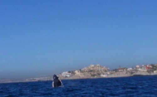 whale-watching-cabo-san2