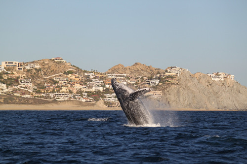 whale-watching-los-cabos-luxury-villa-collections