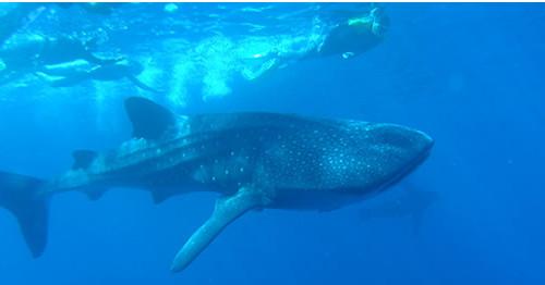 whale_shark_La_Paz